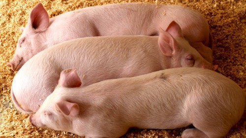 3 свиньи лежат на полу