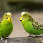 Разведение попугаев в домашних условиях (Как разводить попугаев дома)