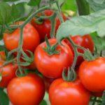 Как выращивать помидоры в теплице из поликарбоната
