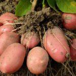 Выращивание картофеля в открытом грунте как бизнес