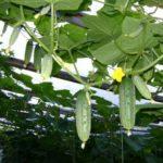 Как правильно выращивать огурцы в теплицах из поликарбоната