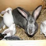 Как правильно разводить кроликов в домашних условиях