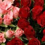 Выращивание роз в открытом грунте как бизнес. Технология, уход, нюансы выращивания.