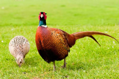 Самец и самка фазана на лугу