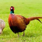 Как правильно разводить фазанов в домашних условиях