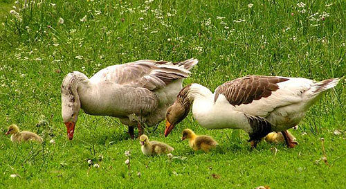 Домашние гуси и гусята пасутся на лугу