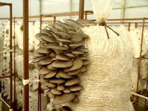 Грибы вешенки растут из мешков