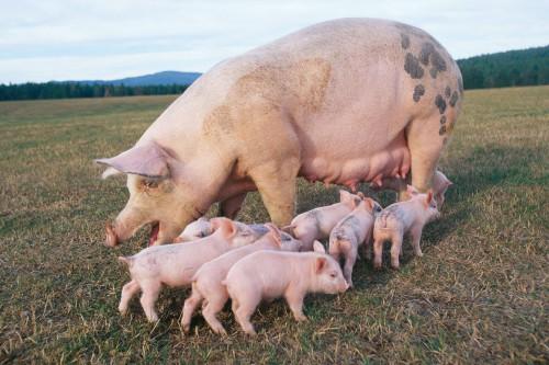 Свиноматка с поросятами на лугу