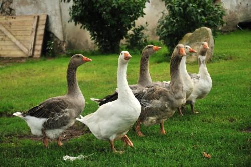 Можно ли успешно разводить и выращивать гусей без достаточного пастбища