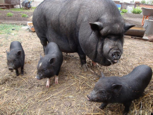 Вислобрюхие вьетнамские свиньи