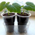 Как правильно выращивать рассаду огурцов в домашних условиях на продажу