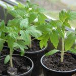 Как правильно выращивать рассаду томатов в домашних условиях на продажу