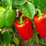 Как правильно выращивать сладкий перец в открытом грунте на продажу
