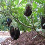 Как правильно выращивать баклажаны в теплице из поликарбоната