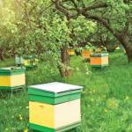 Разведение пчел в домашних условиях для начинающих