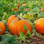 Как правильно выращивать тыкву в открытом грунте: полезные советы по уходу и технологии выращивания от опытных садоводов