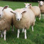 Разведение овец и баранов как бизнес: способы содержания, особенности ухода и кормления, лучшие породы