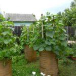 Как выращивать огурцы в бочке по технологии Октябрины Ганичкиной