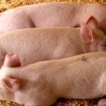 Разведение свиней в домашних условиях для начинающих как бизнес: с чего начать, выгодно ли, нюансы содержания и выращивания свиней