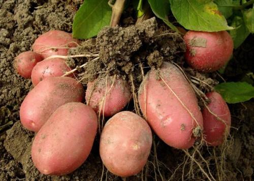 Крупный розовый свежевскопанный картофель