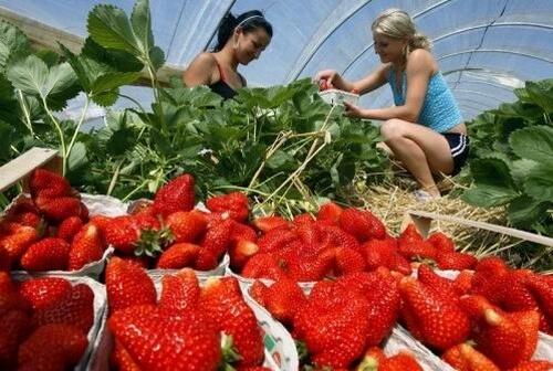 Девушки собирают клубнику со своего участка
