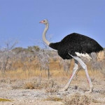 Как правильно разводить страусов в домашних условиях